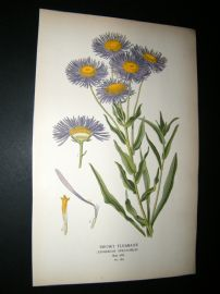 Step 1897 Antique Botanical Print. Showy Fleabane